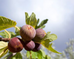 under-fig-tree-community